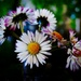 I'll give you a daisy a day, dear by maggiemae