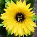 Yellow Gerbera. by happysnaps