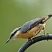 Nuthatch by padlock