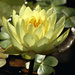 Yellow Pond Lily by nanderson