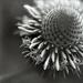 Drumstick flowering
