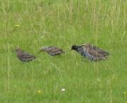 18th Sep 2015 - Starlings