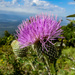 Tall Thistle - Really Tall by milaniet