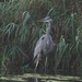Great Blue Heron by selkie
