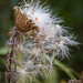 Thistledown by lindasees