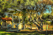 23rd Sep 2015 - Olive Trees