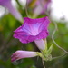 Morning glory, Magnolia Gardens by congaree