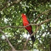 """King Parrot""... by tellefella"