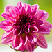Pink Dahlia by elisasaeter