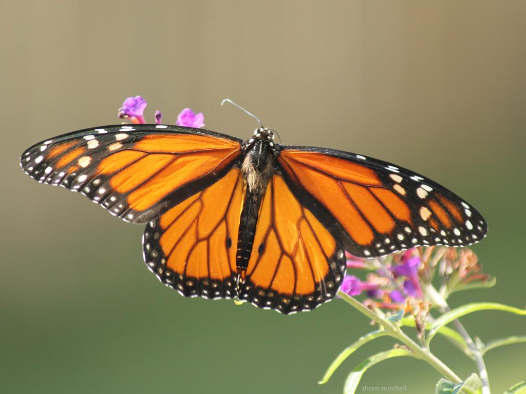 Danaus plexippus (Monarch) by rhoing