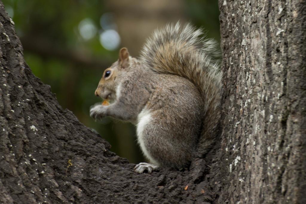 2015 09 20 Squirrel Chipkin by kwiksilver