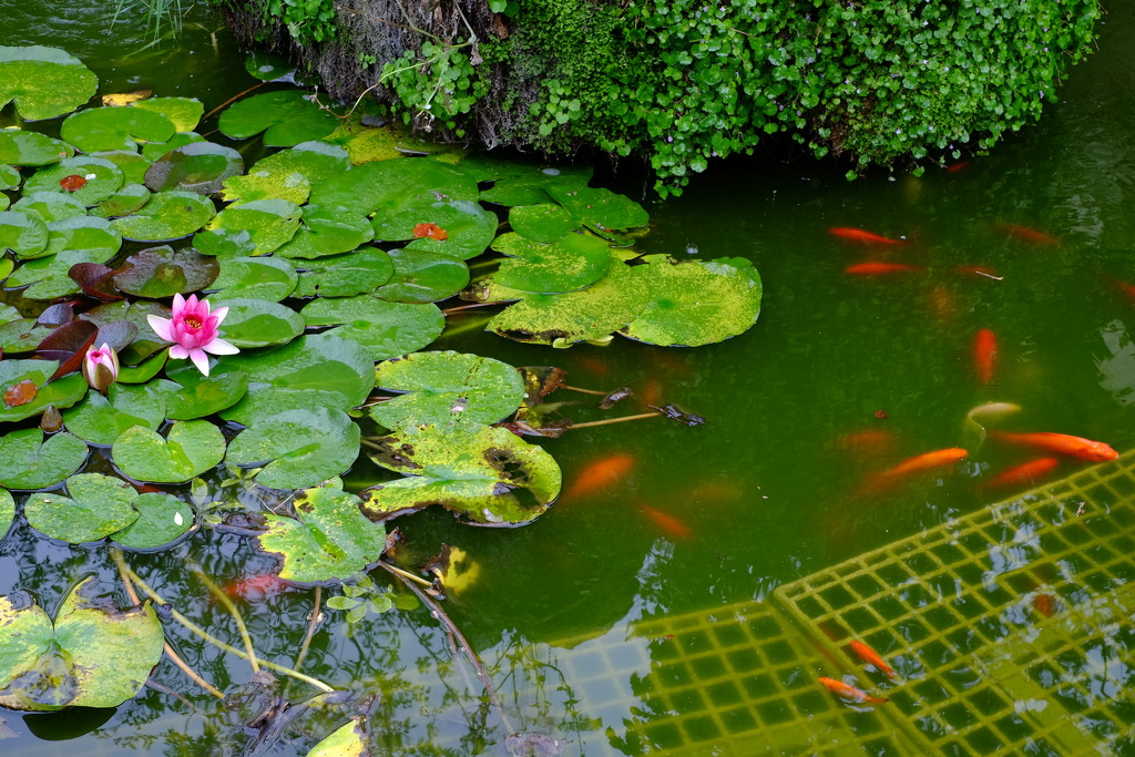 A Year of Days Day 267: Water-Lilies and Goldfish by vignouse