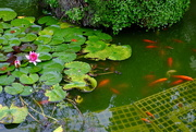 24th Sep 2015 - A Year of Days Day 267: Water-Lilies and Goldfish