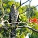 Marsh Hawk by sailingmusic