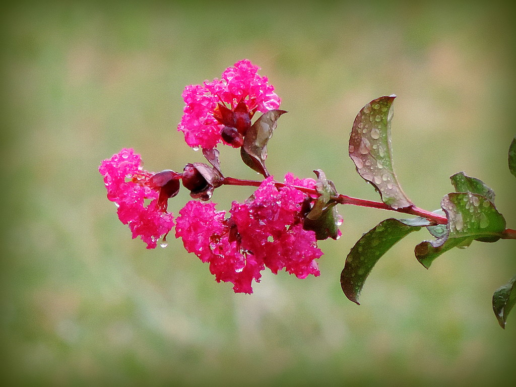 Happiness is raindrops on crepe myrtles flowers! by homeschoolmom