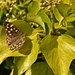 Butterfly amongst the Ivy by ziggy77
