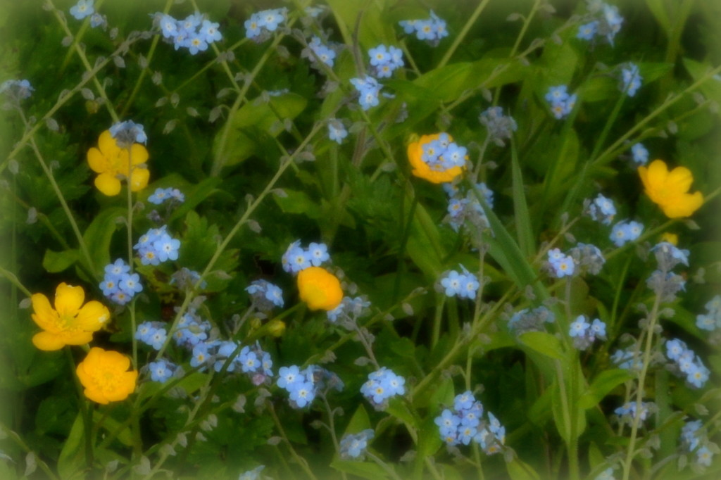 Buttercups and Forget-Me-Nots by nickspicsnz