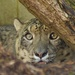 Snow Leopard-Cat Survival Trust by padlock