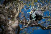27th Sep 2015 - Wood Pigeon