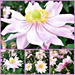Japanese Anemones. by wendyfrost
