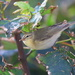 Yellow-Browed Warbler by lifeat60degrees