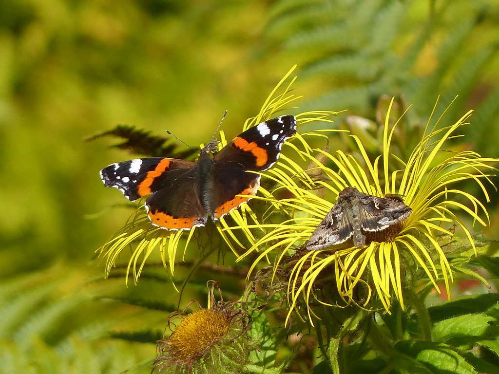 Red Admiral Butterfly and Silver Y Moth by susiemc