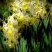 Sliding daffodils by maggiemae