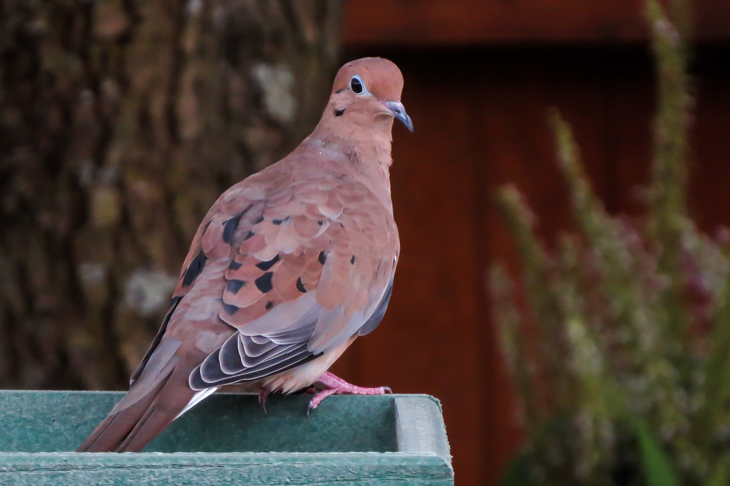 A Morning Mourning Dove by milaniet
