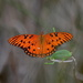 Gulf fritillary by congaree