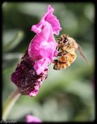 26th Sep 2015 - Bee pleasure
