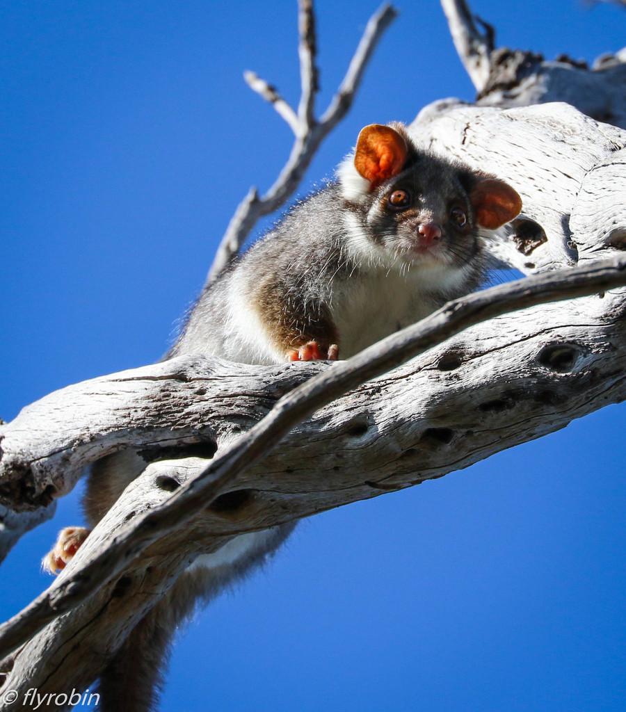 Possum fear by flyrobin