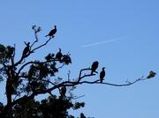 28th Sep 2015 - Roosting Cormorants