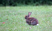 28th Sep 2015 - Peter Cottontail