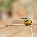 2015 09 20 - Little Bee Eater by pixiemac
