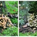 2 pic.`s of the ``many`` toadstools