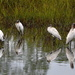 Wood storks by congaree