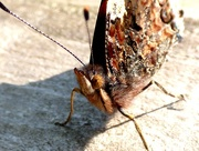 30th Sep 2015 - Red Admiral