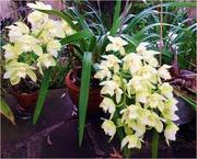1st Oct 2015 - White Cymbidium Orchid.