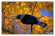 1st Oct 2015 - Tui in the Kowhai