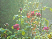 2nd Oct 2015 - Roses on a misty morning....