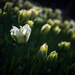 Tulips by yaorenliu