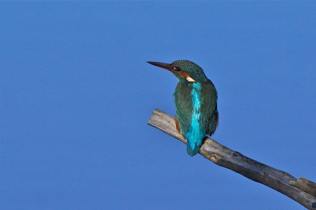 ANOTHER KINGFISHER by markp