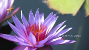 3rd Oct 2015 - another waterlily and a bee
