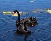 4th Oct 2015 - Swan Lake.....