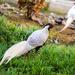 Silver Pheasant by loweygrace