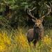 A stag at bay. Me. by shepherdman