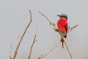 5th Oct 2015 - 2015 10 05 - Carmine Bee-Eater