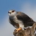 2015 10 04 - Black Shouldered Kite by pixiemac