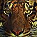 Royal Sumatran by joysfocus