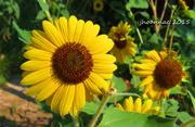 5th Oct 2015 - sunflower too